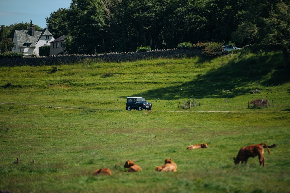 cattle at park house farm in the lake district bride arriving by car